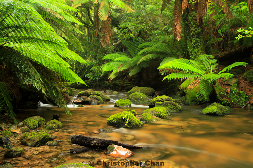 Rainforest near Lake St Clair in Tasmania, Australia